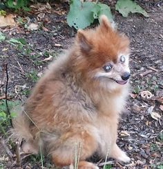 Lost Dog - Pomeranian in CENTEREACH, NY     	 Pet Name:	APACHE   (ID# 95881) Gender:	Male Breed:	Pomeranian Color:	Tri-Color Color 2:	Brown Pet Size:	X-Small (2-9lbs) Pet Age:	13 YEARS OLD Date Lost:	05/02/2015 Zip Code:	11720 (CENTEREACH, NY) See All Lost Dogs In CENTEREACH, NY