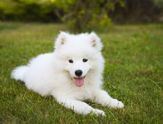 Originally bred to hunt, haul sledges, and herd reindeer, the Samoyed proved a valuable companion for northwestern Siberia s Samoyede people. Among the breed s duties: pack hiking, trackin