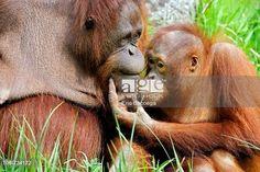 Female orang-utan and her young (Pongo pygmaeus pygmaeus) native to Borneo, captive, IUCN Red list Endangered EN. © Eric Baccega / age fotostock - Stock Photos, Videos and Vectors