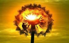 Dandalion sunset