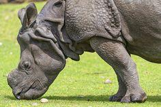 Indian rhino profile | Flickr - Photo Sharing!