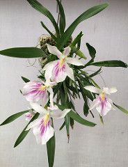 Miltonia spectabilis CH-16746 #miltonia #white #orchid #orchidsbyhausermann (Orchids by Hausermann) Tags: