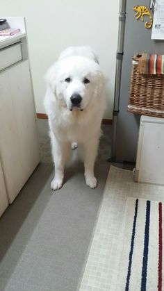 Puppies And Kitties, Doggies, Shelter Dogs, Rescue Dogs, Hungarian Dog, Great Pyrenees Dog, Dane Dog, White Dogs, Mountain Dogs