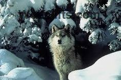 Visit WolfGifts.com for more cool wolf photos. Wolf Photos, Husky, Cool Stuff, Dogs, Gifts, Animals, Presents, Animales, Animaux
