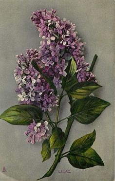 """Lilac"" ~ 1910 postcard from 'The Time of Flowers', series 1 Lilac Tree, Lilac Flowers, Vintage Flowers, Beautiful Flowers, Purple Lilac, Lilac Tattoo, Flower Tattoos, Art Floral, Impressions Botaniques"