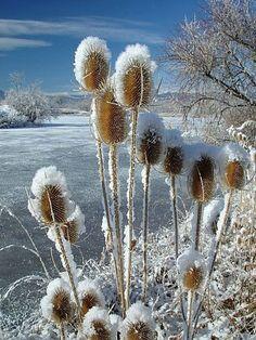 Snowy Thistles
