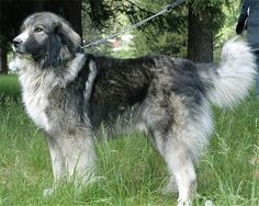 CROATIAN SHEEPDOG PHOTO | Petfinder.com forums :: View topic - Some dog breed I have never heard ...