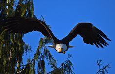 https://flic.kr/p/BwhrXR | eagle swoop 7425 - Explored