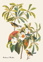 John James Audubon Book Covers on Canvas Prints; Bachman's Warbler
