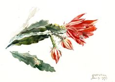 Cactus plant with red flowers by Geoffrey Fletcher. Watercolour, over graphite, 1977.