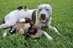Pit bull, Cat and Chicks~Chicks dig Sharky, the pit bull. The tiny cotton puffs perch on this back, peck at his snout, and use him as a raft in the pool. They're also strangely fond of a Siamese-snowshoe cat called Max, who noses them into line. And Max and Sharky, well, since the cat put the dog in his place with a paw slap or two, they've gotten along better than fine.
