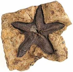 Fossil sea star (Eoactis stachi), Late Silurian (c. 420 million years old), Melbourne, Victoria  Photographer: Rodney Start. Source: Museum Victoria.