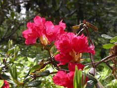 Rhododendron 'Elviira'