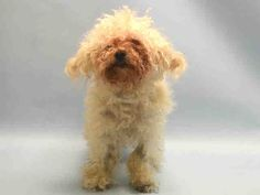 SUPER URGENT Manhattan Center ISHMAEL – A1043390 ***SAFER: NEW HOPE ONLY*** MALE, WHITE, BICHON FRISE MIX, 9 yrs OWNER SUR – EVALUATE, NO HOLD Reason PERS PROB Intake condition EXAM REQ Intake Date 07/09/2015