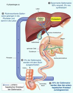 Physiology liver circulation function - All About Health Examen Clinique, Medicine Notes, Bile Duct, Human Anatomy And Physiology, Medical Anatomy, Nursing Notes, Body Systems, Biochemistry, Flow