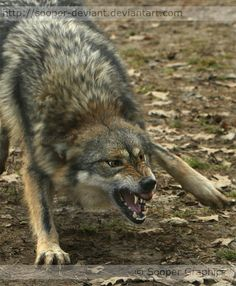 Google Image Result for http://images1.fanpop.com/images/photos/1400000/Angry-Wolf-wolves-1412154-594-720.jpg