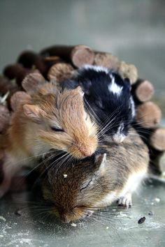 """funkysafari: """"Hamster love by Annelieke B """" Cute Animal Photos, Funny Animal Pictures, Cute Pictures, Funny Animals, Cute Little Animals, Large Animals, Funny Hamsters, Tier Fotos, Love Pet"""