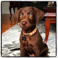Chocolate lab #luke