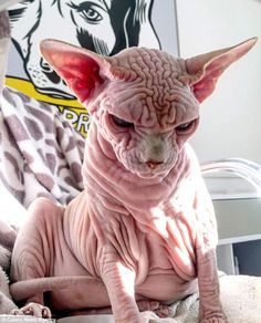 While Xherdan the five-year-old Sphynx cat has a face that many would balk at, owner Sandra Filippi said he 'stole her heart' when she saw him online and brought him to live with her in Switzerland. Ugly Animals, Cute Baby Animals, Gato Sphinx, Beautiful Cats, Animals Beautiful, Cute Cats, Funny Cats, Ugly Cat, Ugly Dogs
