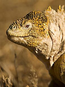 Land Iguana in Galapagos Islands. Travel with Cheesemans' Ecology Safaris!
