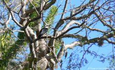Falculie mantelée (voron-jaza)