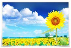 Vivendo a Vida bem Feliz: 10 motivos para amar o girassol!