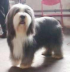 "With an aura of strength and agility, the Bearded Collie was bred for centuries as a companion and servant of man. ""Collie"" is the generic Scottish word for dogs that herd sheep, and the Beardie's long, lean body and agile movement make him well-suited to that task."