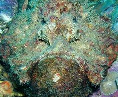 The Stonefish - Hiding in the Reef