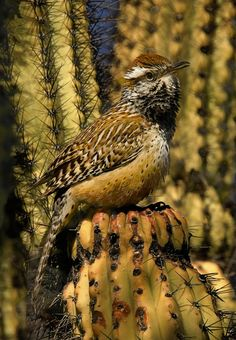 Photograph Cactus Wren II by Rob Hopkins on 500px