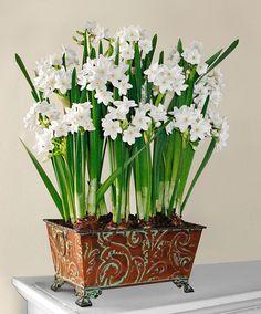 Narcis 'Paperwhite Ziva' product foto