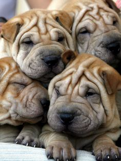Chineses Shar-Pei Puppies are Displayed for Sale Photographic Print