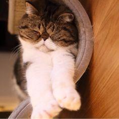 #wcw gorgeous @Karolina Majkut ! ❤️ #catlover #cats #catstagram #catsofinstgram #kitty #kitten #chat #neko #kotik #exoticshorthair #exoticcats #baby #dailyfluff #dailycat #meow #kitten #Padgram