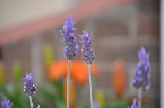 Lavende by Eduardo Seguy, via Flickr