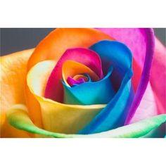 Rare Holland Rainbow Rose Flower seeds - 10 pcs / lot