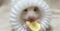 Just Pinned to Hamsters: rainbow in your eyes | honeyangelbaby: @cowgirlclaire http://ift.tt/2qh3gM8