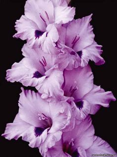 Gladiolus- means strength of character, faithfulness, and honor. And people wonder why I tattooed this on myself...