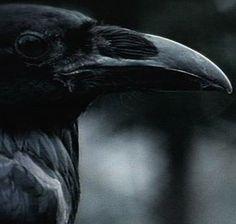 Raven beak, longer than the Crow.