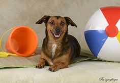 Mason sports the sunniest, most colorful personality and he is eager to begin his new life with someone who will love him dearly.  He is an exceptionally cute Dachshund mix, about 6 years of age, a neutered boy, good with other dogs, and ready for adoption at Nevada SPCA (www.nevadaspca.org).  Special thanks to Pet'ographique (www.petographique.com) for this fun new portrait to help Mason find a forever home.