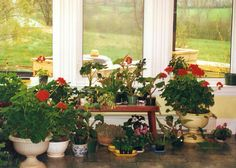 Is there a room in your house that looks like this now? Mom always overwintered her geraniums and took cuttings from them.