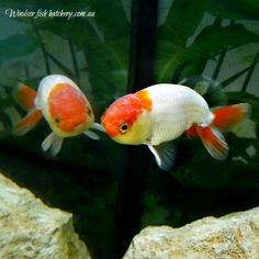 windsor fish hatchery is unique in that we sell the koi and goldfish we breed online and ship the fish to your home or business via couriers with a live arrival guarantee All Fish, Live Fish, Goldfish For Sale, Fish Hatchery, Dead Fish, Fish Tank, Beautiful Creatures, Windsor, Koi