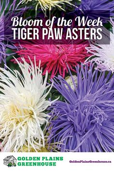 You think you've seen one Aster, you've seen them all, right? you would be wrong! Wait until you get a look at the Tiger Paw Asters! Tiger Paw, Aster, Bloom, Herbs, Green, Herb, Medicinal Plants