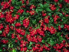 Produces slightly tart, bright-red berries high in vitamin C. Great for making sauces, jellies or wines.