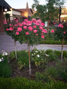 Pink Knockout Rose Trees are bright flush pink roses on a small ornamental tree. Add unique color and character to your yard with this easy-to-grow rose tree. Pink Knockout Rose Trees are bright flush pink roses on a small ornamental tree. Knockout Rose Tree, Double Knockout Roses, Small Ornamental Trees, Fast Growing Trees, Rose Trees, Organic Roses, Flowering Trees, Container Plants, Landscaping