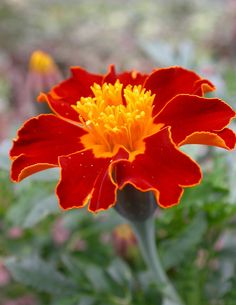 Marigold by Sean Murray on Beautiful Flowers Wallpapers, Beautiful Roses, Exotic Flowers, Pretty Flowers, Botanical Illustration, Floral Illustrations, Marigold Flower, Garden Animals, Autumn Garden