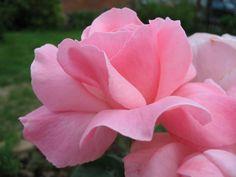 Resultado de imagem para rose pink love