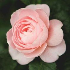 Queen of Sweden is soft salmon-pink and produces very long, straight stems for a. - Queen of Sweden is soft salmon-pink and produces very long, straight stems for an English rose. Yellow Roses, Pink Roses, Purple Flowers, Beautiful Flowers, Garden Drawing, Floating Flowers, David Austin Roses, Rose Wallpaper, Flower Aesthetic