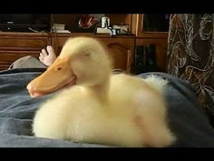 This Video Of A Snoring Duck Is Here To Soothe Your Worries - aka Seriously?? Now I need a duck.