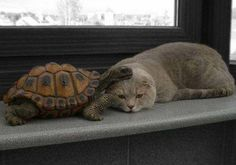 Cats make great pillows for turtles.