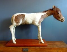 Vintage Taxidermy Foal that died at birth
