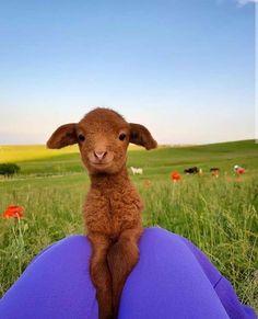 Pretty Animals, Cute Little Animals, Cute Funny Animals, Animals Beautiful, Fluffy Cows, Fluffy Animals, Animals And Pets, Cute Baby Cow, Baby Cows